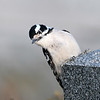 February 26 2020 - Downy Woodpecker
