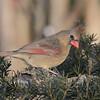 February 20 2020 - Female Cardinal