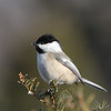 February 27 2020 - Chickadee