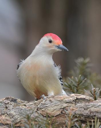 February 2 2020 - Red Bellied Woodpecker
