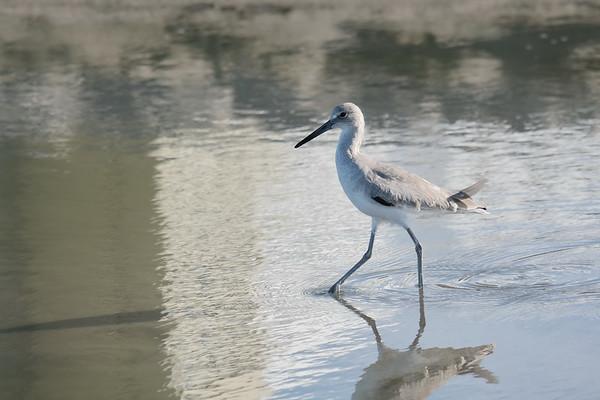 February 13 2020 - Shorebird