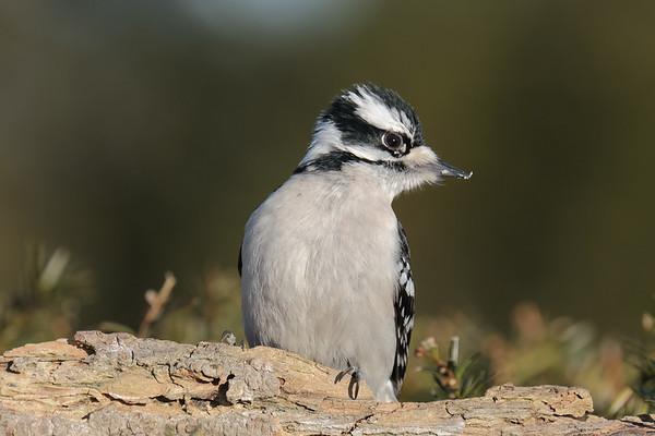 February 24 2020 - Downy Woodpecker