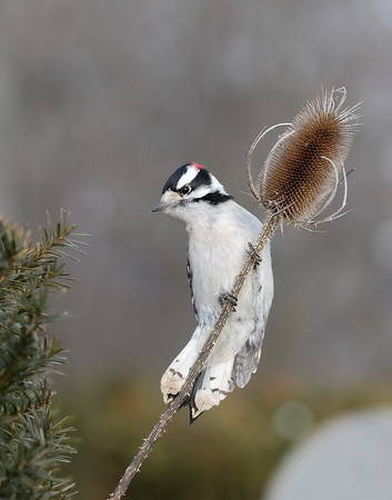 January 19 2020 - Downy Woodpecker