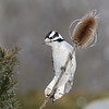 January 19 2020 - Downy Woodpecker