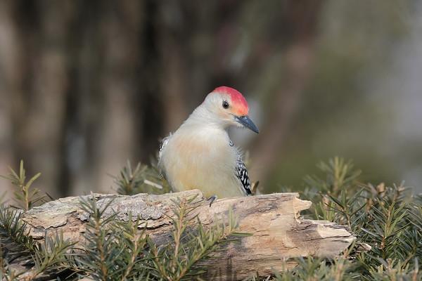 January 9 2020 - Red Bellied Woodpecker