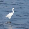 January 23 2020 - Snowy Egret