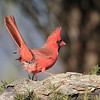 January 3 2020 - Northern Cardinal