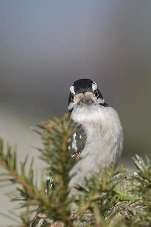 January 7 2020 - Downy Woodpecker