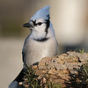 January 8 2020 - Bluejay