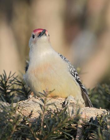 January 21 2020 - Red Bellied Woodpecker