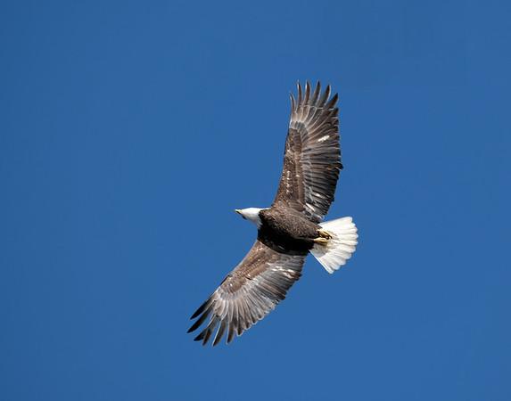 January 1 2020  - Bald Eagle