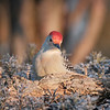 January 29 2020 - Red Bellied Woodpecker