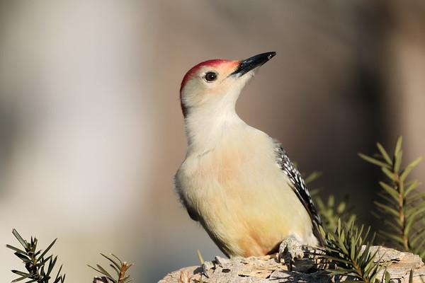 January 4 2020 - Red Bellied Woodpecker