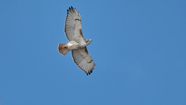 January 6 2020 - Red-tailed Hawk