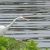 January 28 2020 - Great Egret