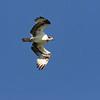 July 28 2020 - Osprey