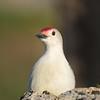 July 26 2020 - Red Bellied Woodpecker