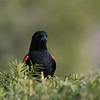 July 22 2020 - Red Winged Blackbird