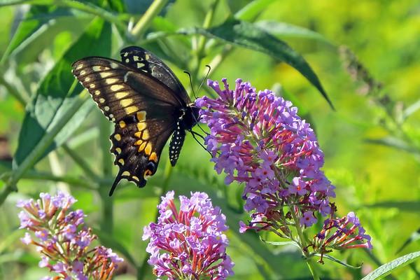 July 31 2020 - Swallowtail Butterfly