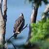 July 29 2020 - Bald Eagle