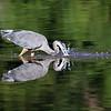 July 21 2020 - Great Blue Heron