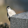 March 7 2020 - Downy Woodpecker
