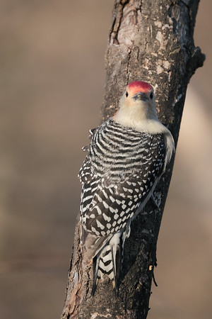 March 12 2020 - Red Bellied Woodpecker