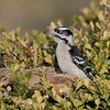 March 17 2020 - Downy Woodpecker