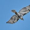 March 15 2020 - Hawk