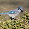 March 23 2020 - Bluejay