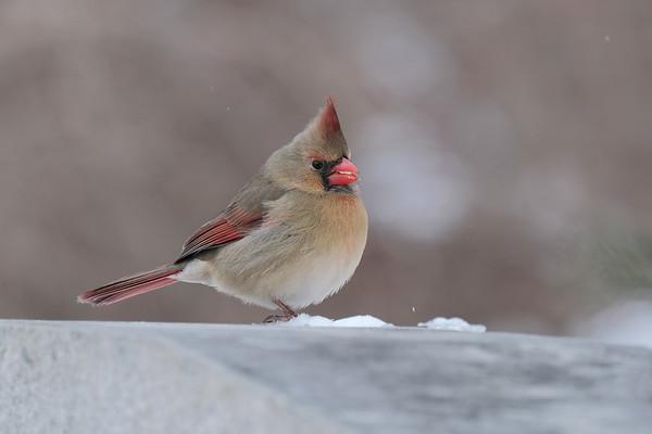 March 6 2020 - Female Cardinal