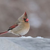 March 6 2020 - Female Cardinal