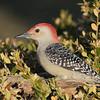 March 20 2020 - Red Bellied Woodpecker