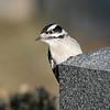 March 27 2020 - Downy Woodpecker