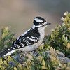 March 22 2020 - Downy Woodpecker