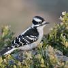 March 22 2020 - Downy Woodpecker