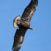 March 10 2020 - Immature Bald Eagle