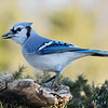 March 8 2020 - Bluejay