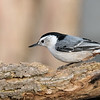 March 30 2020 - Nuthatch