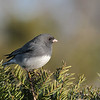 March 9 2020 - Junco