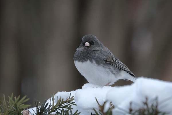 March 16 2020 - Junco