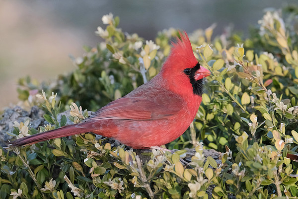March 18 2020 - Northern Cardinal