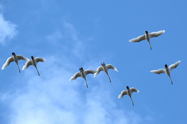 March 11 2020 - Tundra Swans