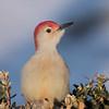 March 28 2020 - Red Bellied Woodpecker