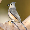 May 28 2020 - Tufted Titmouse