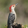 May 24 2020 - Red Bellied Woodpecker