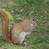 May 9 2020 - Red Squirrel