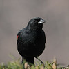 May 4 2020 - Red Winged Blackbird