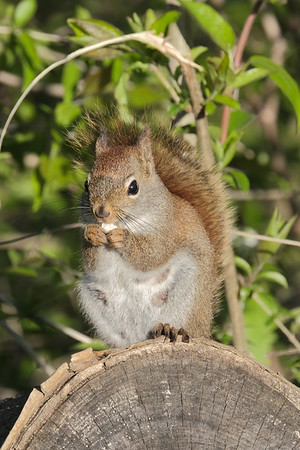 May 21 2020 - Red Squirrel
