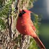 May 15 2020 - Cardinal